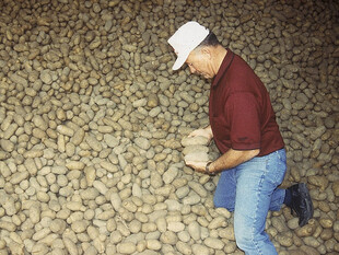 Albert Wada looking over potatoes in storage