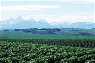 Rolling fields of Idaho potatoes; Teton mountains in background.