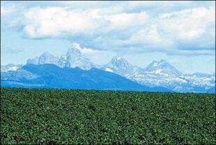 Sea of Idaho potatoes; Teton mountains in background.
