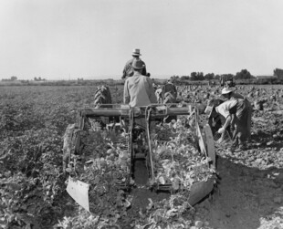 Picking Potatoes