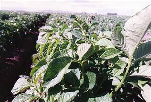 Close-up of an Idaho potato plant.
